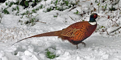 A walk through the snow... (littlestschnauzer) Tags: uk winter snow game male bird nature birds rural garden countryside nikon pheasant wildlife january seed common emley 2015 d5000