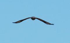 IMG_4455-1 Rough-legged Hawk (John Pohl2011) Tags: bird canon john geese hawk goose raptor 100400mm birdofprey pohl perching t4i 100400mmlens canont4i