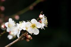 (Peapotty) Tags: japan 50mm nikon 14 plum  v2  ft1 yamaguchiken iwakunishi