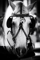 Seaport Sweetheart (joegeraci364) Tags: horse pet white black cute art animal print photo carriage image artistic farm drawn