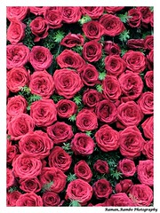 Bangalore-Tirupati-Kolhapur Trip January 2015 - Roses (Raman_Rambo) Tags: pink flowers red roses flower nature beautiful beauty rose bag day republic bangalore valentine valentines greenery buds bud boquet valentinesday lal republicday lalbag lalbaug bangaluru