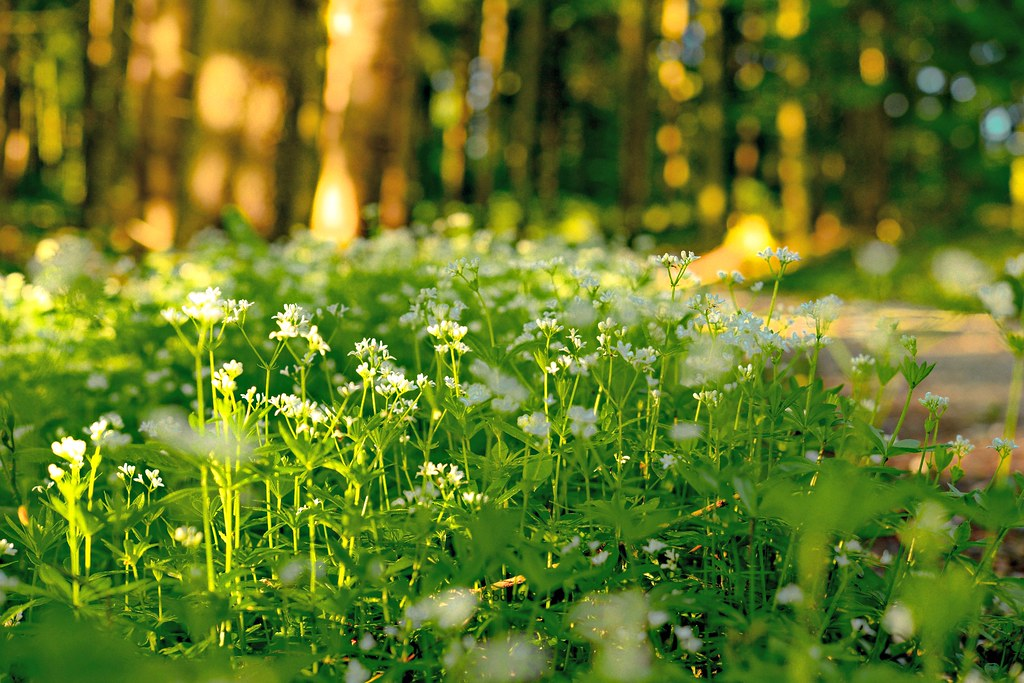 The World\'s Best Photos of waldmeister and woodruff - Flickr Hive Mind