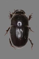 Großer Dungkäfer (planetvielfalt) Tags: coleoptera scarabaeidae polyphaga scarabaeiformia aphodinae