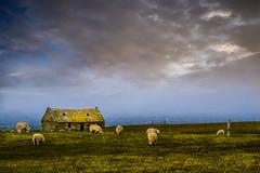 Sea Mist @ Hoxa Head (alan_eccleston) Tags: mist orkney sheep hoxa