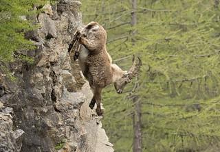 Alpine Ibex: Capra ibex