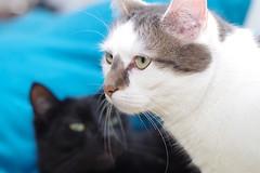 Casimir Looking At... (frankbehrens) Tags: cats tom cat chats chat gatos gato katze katzen kater pentaxks2