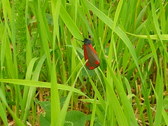 Wer kennt diesen Falter? (Jrg Paul Kaspari) Tags: grass butterfly gras falter luxembourg kirchberg schmetterling grnrot rotgrn grnrotschwarz