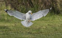 Caspian Gull (tickspics ) Tags: europe romania caspiangull laruscachinnans danubedelta ultimafrontiera