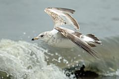 Ring-billed Gull in flight...6O3A9324A (dklaughman) Tags: ringbilled gull bird delaware