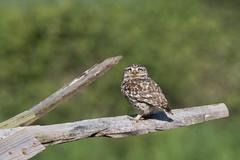 Steve the little owl (ToriAndrewsPhotography) Tags: photography andrews little bokeh owl tori