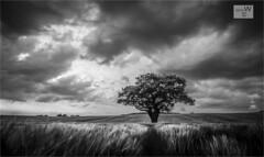 Stormy Evening On Romney Marsh. (ziggystardust111...taking a break !!!) Tags: blackandwhite tree monochrome stormy grasses romneymarsh moodysky ziggystardust113hotmailcouk