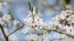 WHITE BLOSSOMS (Sven Dost) Tags: flowers blue light summer sky white macro tree beautiful spring nikon sunday blossoms sigma hd 169 105mm sirui d5100