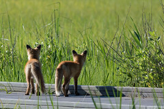 Red Fox Kits (rob.wallace) Tags: red de fox bombay kits hook smyrna nwr vulpes