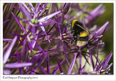 Bee on a flower (Paul Simpson Photography) Tags: summer flower nature june insect petals bee bumblebee summertime naturalworld purpleflowers pinkflowers photosof imageof photoof imagesof beautifulnaturephotos sonya77 paulsimpsonphotography june2016