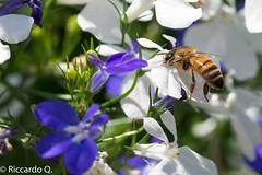 _DSC9249.jpg (Riccardo Q.) Tags: macro fiori fiore altreparolechiave floreka