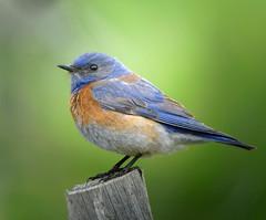 Western Bluebird - male (gyr) Tags: bird bluebird westernbluebird sialiamexicana