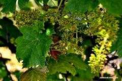 Ma vigne 05 (voyageursdumonde1) Tags: nature village vigne raisin isre salaisesursanne france2016