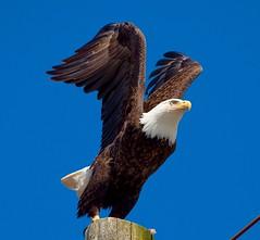 Bald Eagle (Haliaeetus leucocphalus) (mosesharold) Tags: ketchikan22may16112812945dii1 baldeagle ketchikan alaska eagles seaeagles