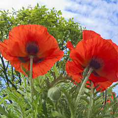 Riesenmohnblume (schasa68) Tags: red flower rot garden outdoor natur pflanze olympus om10 poppy blume garten naturre klatschmohn mohnblume