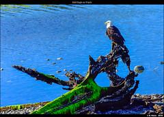 Bald Eagle on Watch (episa) Tags: camera canada britishcolumbia vancouverisland porthardy americanbaldeagle nikond810 may2016 nikonafs200500mmf56eedvr