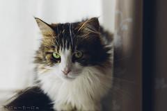 The past is gone. It went by, like dusk to dawn. (miyukiz4 su ood) Tags: cat kitten gatinho gatito ktzchen chaton  gttino