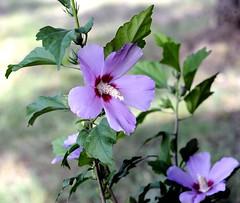 _DSC3468e (BDC Photography) Tags: pipecreek texas usa nikon nikond3 flowers purple