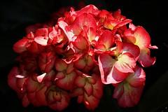 Light and shadow (Hugo von Schreck) Tags: flower macro blume makro onlythebestofnature tamron28300mmf3563divcpzda010 canoneos5dsr hugovonschreck
