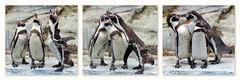 Histoire  de Manchots (Raymonde Contensous) Tags: animaux oiseaux mnhn zoodevincennes pzp parczoologiquedeparis manchotsdehumboldt