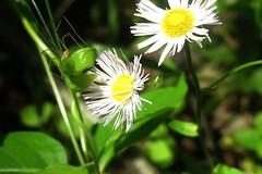 Daisies (cyanidissium) Tags: green daddy spider leaf long trail daisy daddylongleg