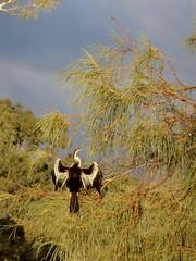 Sunning Shag (thomson.shaun) Tags: sunset bird river landscape lock 11 shag murray mildura