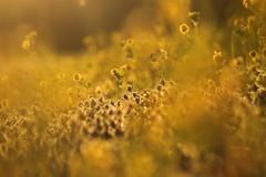 Il tramonto del riposo. (2) (SimonaPolp) Tags: sunset summer sun flower nature june canon gold tramonto estate natura sole giugno fiore oro cassaga 20062016