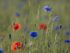 Ode  la joie **--- - (Titole) Tags: blue green poppies wildflowers cornflower bleuets shallowdof coquelicots challengeyouwinner friendlychallenges thechallengefactory cyunanimous