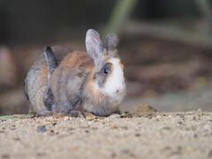 B6250692 (VANILLASKY0607) Tags: rabbit bunny bunnies nature animal japan photo wildlife wildanimal hydrangea rabbits rabbitisland wildrabbit okunoshima