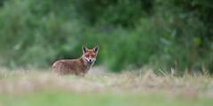 Deux oreilles et une truffe (inutshuk (Benjamin)) Tags: mammals mammalia carnivores redfox vulpesvulpes carnivora canidae mammifres renardroux canids