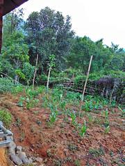 IMG_20160516_164950 (Niki_Ta_1998) Tags: corn village manipur northeastindia chakpikarong charongching analvillage