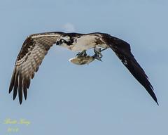 osprey with catch - (3rd of 3 ) (explored 6-8-16) (dbking2162) Tags: fish beach nature birds animal florida fort wildlife flight osprey birdofprey myers