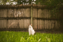 Backyard Adventure (Michael Mendonca) Tags: ralph cat happy backyard summer florida animal pet photography fun warmth fence kitten look sitting love grass green lightroom 50mm f14 pumpkin lines bokeh nikon d810 sigma