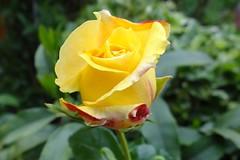 Rose (Gartenzauber) Tags: doublefantasy floralfantasy rosesforeveryone