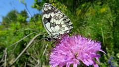 Le Demi Deuil (bernard.bonifassi) Tags: bb088 06 alpesmaritimes 2016 thiery counteadenissa papillon demideuil insecte