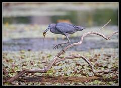 Little Blue Snack... (DTT67) Tags: bird heron nature canon wildlife maryland nationalgeographic littleblueheron northpointstatepark 14xiii 500mmii 1dxmkii