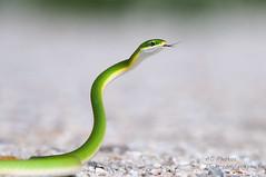 Ssssammy Slithers ... (ac4photos.) Tags: green animal nikon florida reptile snake wildlife ac tamron naturephotography wildlifephotography roughgreensnake reptilephotography snakephotography herpphotography d300s ac4photos