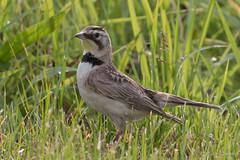 Horned Lark (Eremophila alpestris) (Susan Jarnagin) Tags: bird wildlife nj hornedlark burlingtoncounty eremophilaalpestris laurelrunpreserve
