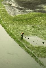 The harvester (Aranya Ehsan) Tags: crops green people life lifestyle dailylife pov bangladesh water river canon