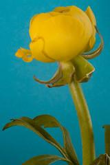 Yellow ranunculus (rachaeldh777) Tags: flower fleur yellow contrast stem bright ranunculus bud