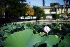 夏天的蓮花 (ozzy5836) Tags: summer flower green canon 50mm bokeh sony om f19 a7r