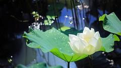 shine  (parrot0901) Tags: lotus pond shine makrotubusaschachtulm12850r