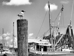The long wait. (John Ilko) Tags: bird net boat blackwhite dock florida gull bayside fujifilm fl waterway tarponsprings x30 shorebird floridabird monochromer