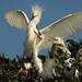 Egret Chicks Growing Up