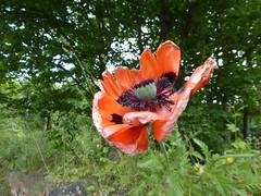 Red (Brian Cairns) Tags: saintandrews cambo fifecoastalpath kingsbarns brianbcairns therockandspindle buddoroack