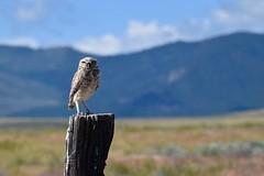 Burrowing Owl (kaimills) Tags: burrowingowl bird